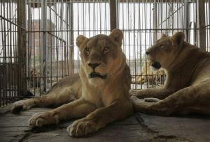 Two lions sit in a cage in Puerto Falcon, Paraguay, on the border with Argentina, Friday, Aug. 24, 2012. Nine Bengal tigers and seven African lions from an Argentine circus have been stuck at the border in Paraguay for two months, because Argentine officials refuse to approve their paperwork for...