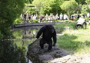 In this undated picture made available, Monday, March 9, 2009, Santino the stone-throwing chimp, is watched by a group of visitors at Furuvik zoo in Sweden.