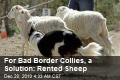 Baaa-d Dog: Border Collies Get Sheep to Herd