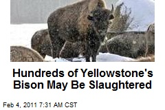 Hundreds of Yellowstone's Bison May Be Slaughtered