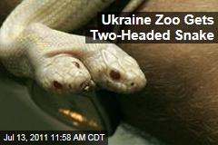 Two-Headed Albino California Kingsnake on Display at Ukraine Zoo
