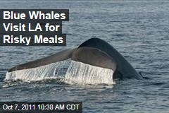 Endangered Blue Whales Visit Los Angeles for Risky Meals