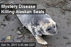 Mystery Disease Killing Alaskan Seals