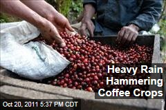 Central American Coffee Crops Hammered by Rainfall