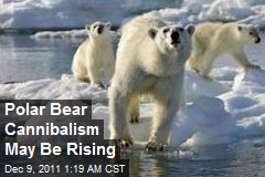 Polar Bear Cannibalism May Be Rising