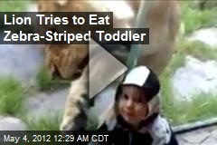 Lion Tries to Eat Zebra-Striped Toddler