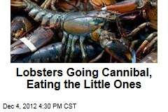 Warm Weather Turning Lobsters Into Cannibals
