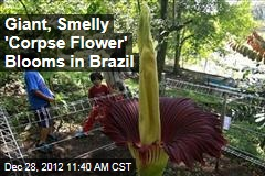Giant, Smelly &amp;#39;Corpse Flower&amp;#39; Blooms in Brazil