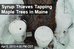 Syrup Thieves Tapping Maple Trees in Maine