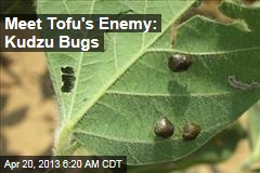 Meet Tofu&amp;#39;s Enemy: Kudzu Bugs