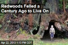 Redwoods Felled a Century Ago to Live On