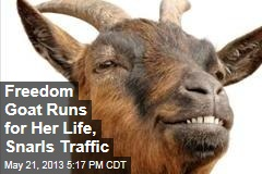 Freedom Goat Runs for Her Life, Snarls Traffic