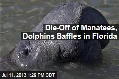Die-Off of Manatees, Dolphins Baffles in Florida