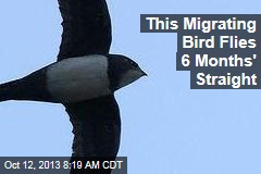 This Migrating Bird Flies 6 Months' Straight