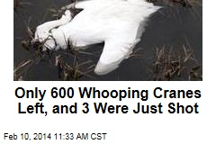 Only 600 Whooping Cranes left, and 3 were just shot