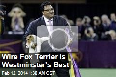 Wire Fox Terrier Is Westminster's Best