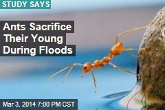 Ants Sacrifice Their Young During Floods
