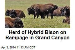 Herd of Hybrid Bison on Rampage in Grand Canyon