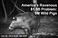 America's Ravenous $1.5B Problem: 5M Wild Pigs