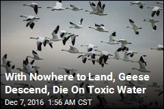 With Nowhere to Land, Geese Descend, Die On Toxic Water