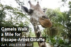 Camels Walk a Mile for Escape-Artist Giraffe