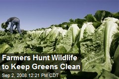 Farmers Hunt Wildlife to Keep Greens Clean