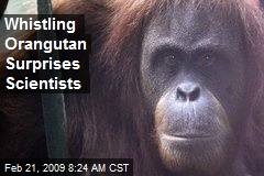 Whistling Orangutan Surprises Scientists
