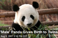 'Male' Panda Gives Birth to Twins