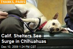 Calif. Shelters See Surge in Chihuahuas