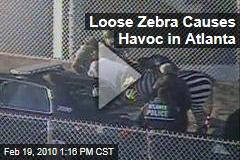 Loose Zebra Causes Havoc in Atlanta