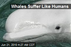 Whales Suffer Like Humans